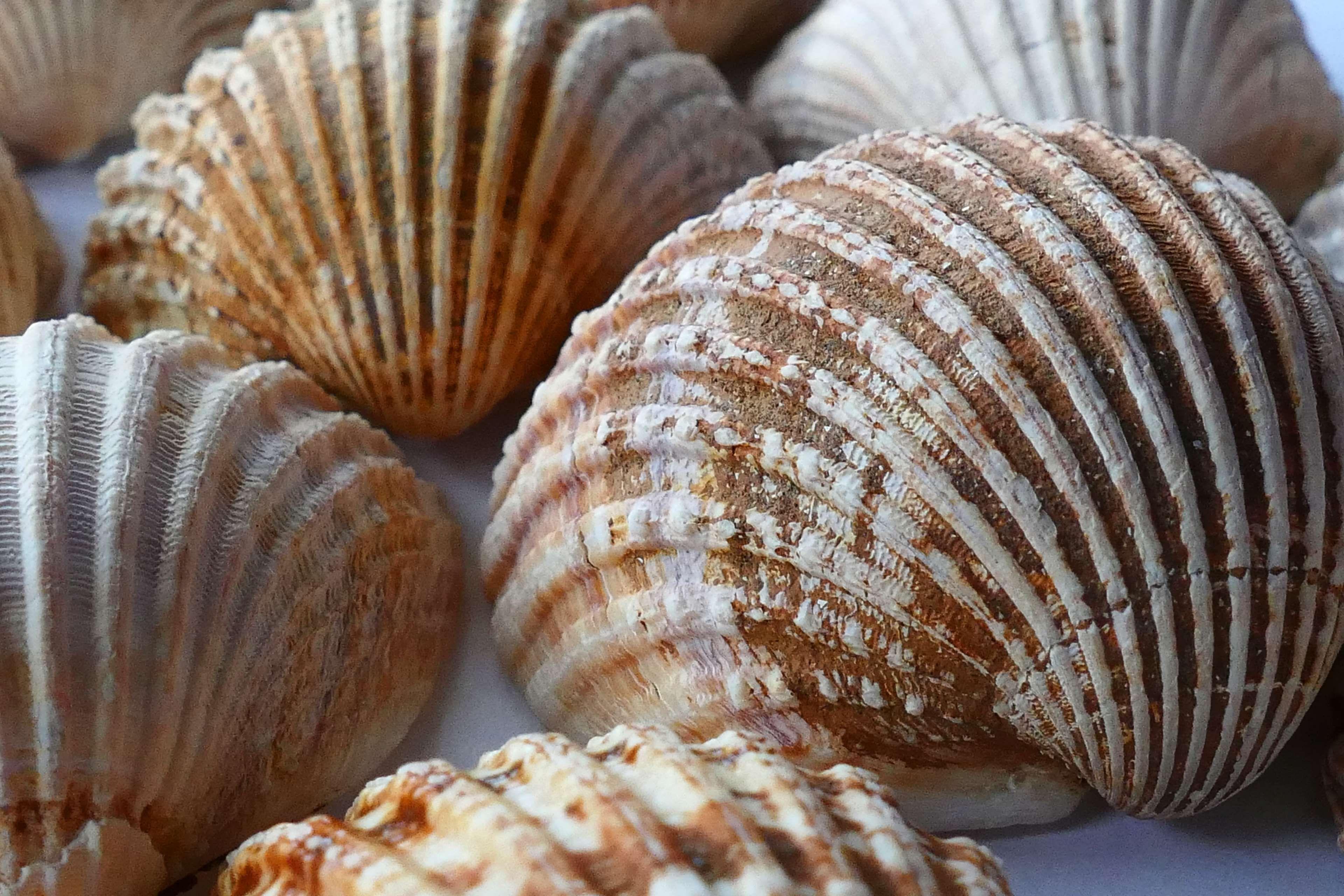 Blur Close Up Focus Nature Seashells Shells Clams Sea Shells Shells