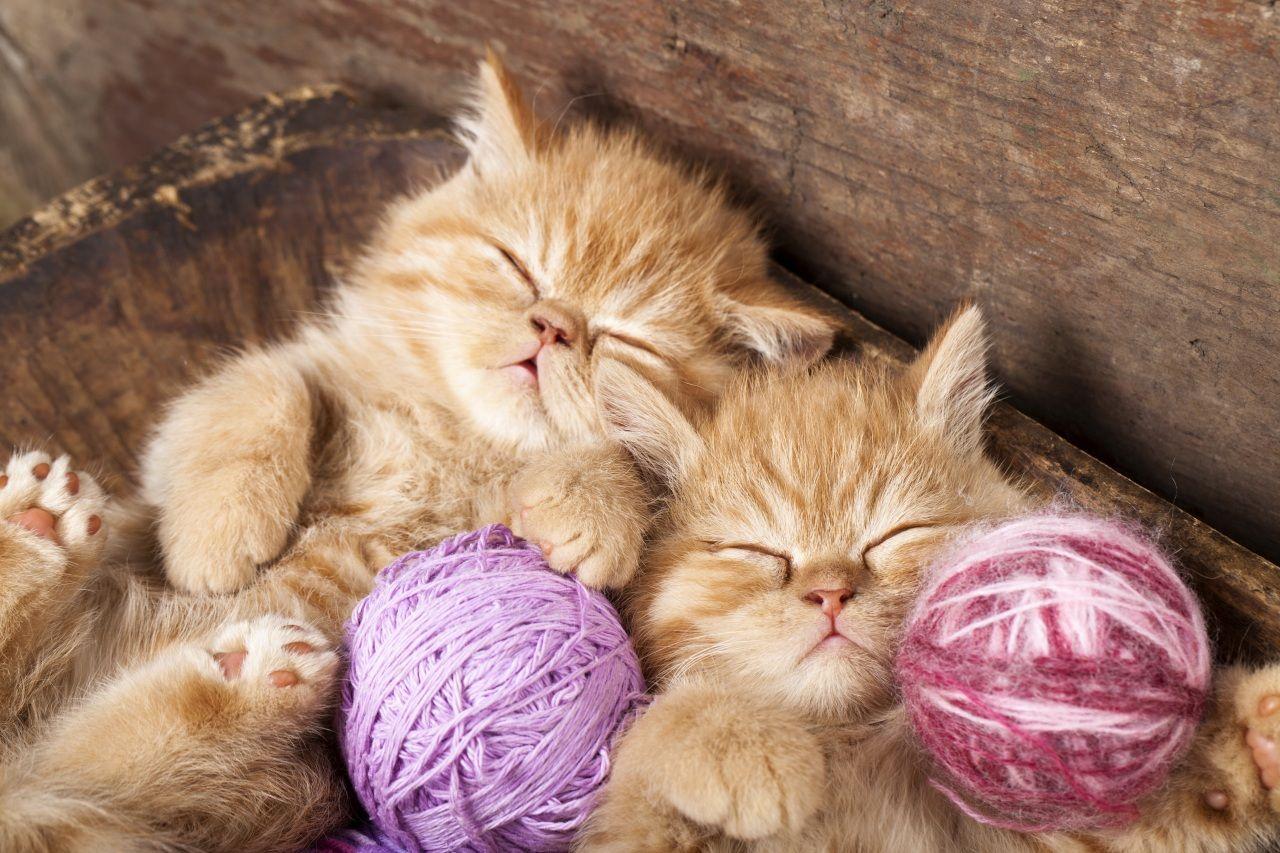 Fonds D Ecran Chat Domestique Chatons Deux Dormir Animaux Image 406254 Telecharger Animaux Les Plus Mignons Chat Mignon Chats Adorables