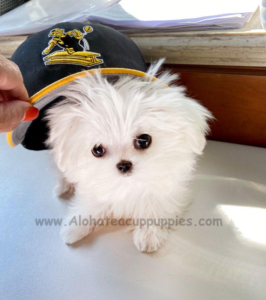 Miami Beach Fl Usa Milkish F M Maltese Puppies Maltese Puppy Teacup Puppies Maltese Pretty Dogs