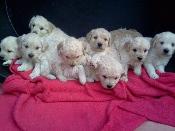 Goldendoodles Mini F1 English Teddybears Goldendoodle Cute