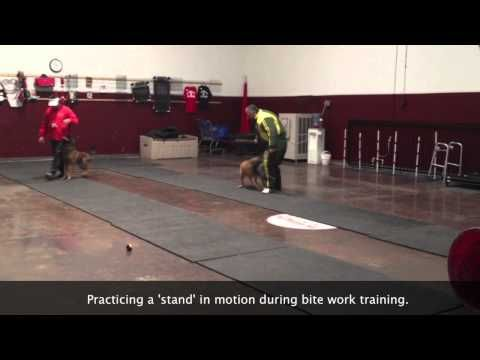 Protection K9 Dog Obedience Dog Training Sit Means Sit Dogs