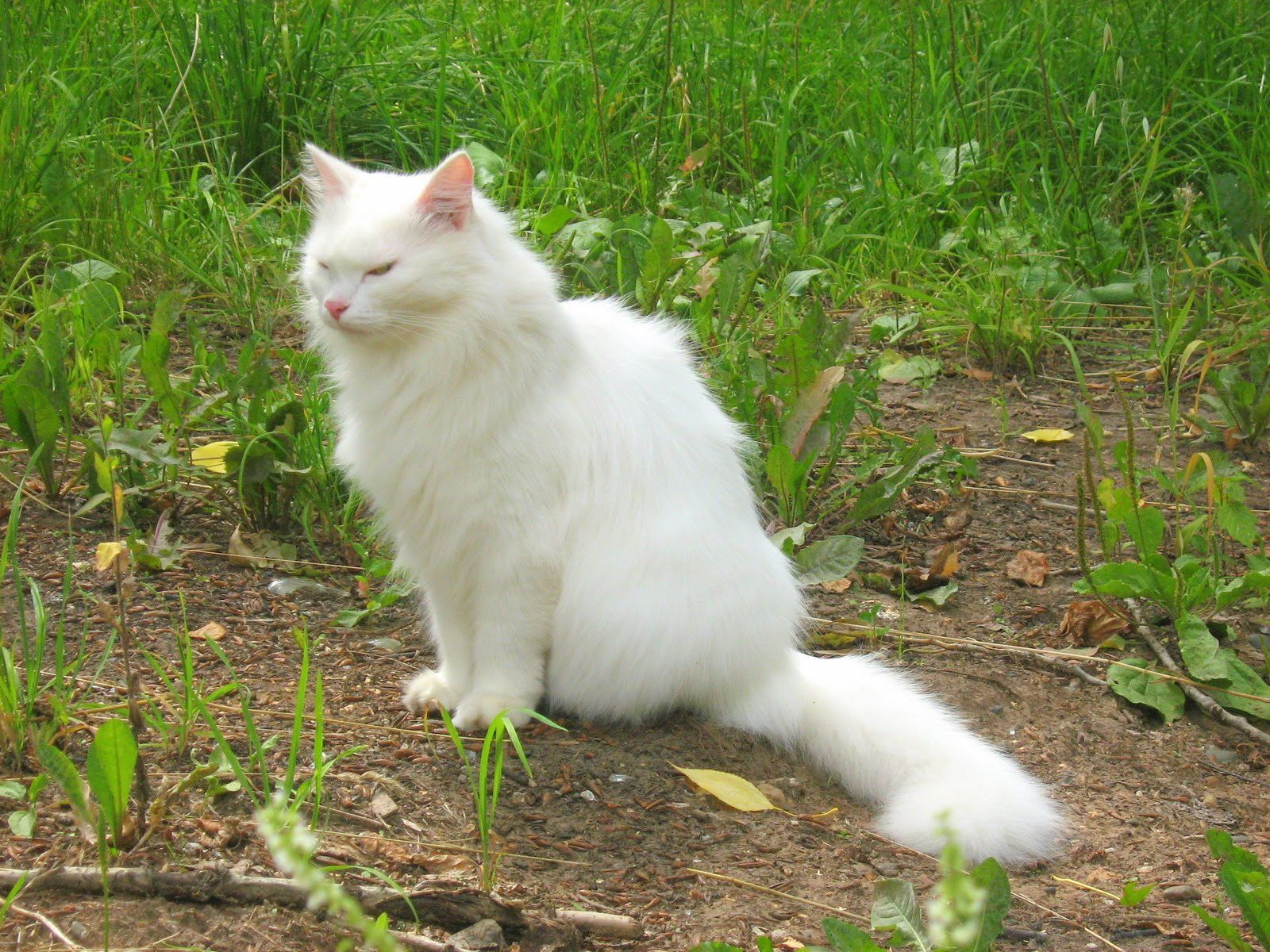 Russian White Cat Fat Tired of your cats spraying here to