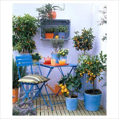 blue containers with citrus limon 39 florentina 39 fortunella citrofortunella olea rosmarinus. Black Bedroom Furniture Sets. Home Design Ideas