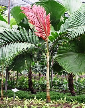 Red Feather Palm Tree Palm Trees Landscaping Tropical