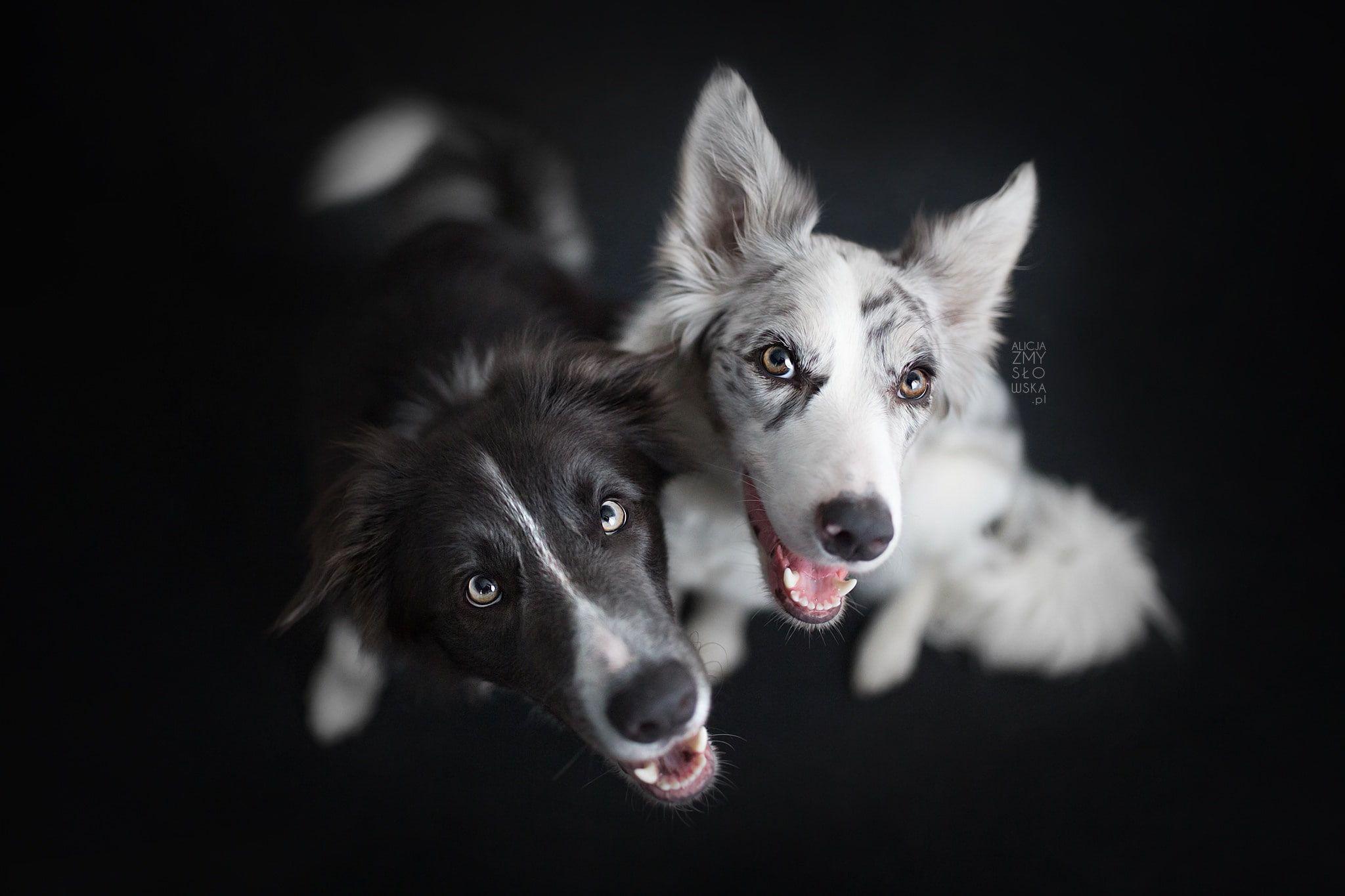 Black White Dog Animals 1080p Wallpaper Hdwallpaper Desktop Australian Shepherd Dogs Black Dog Dogs