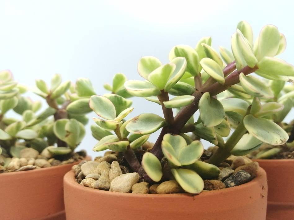 100+ Portulacaria afra variegata [Dwarf Jade]   Terracotta