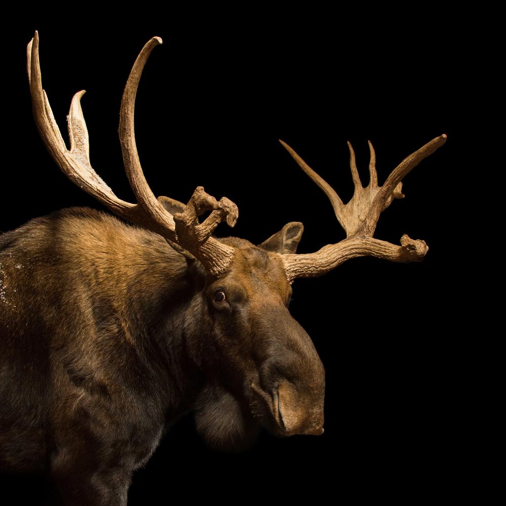 Moose in 2020 Moose, Animals, Mammals