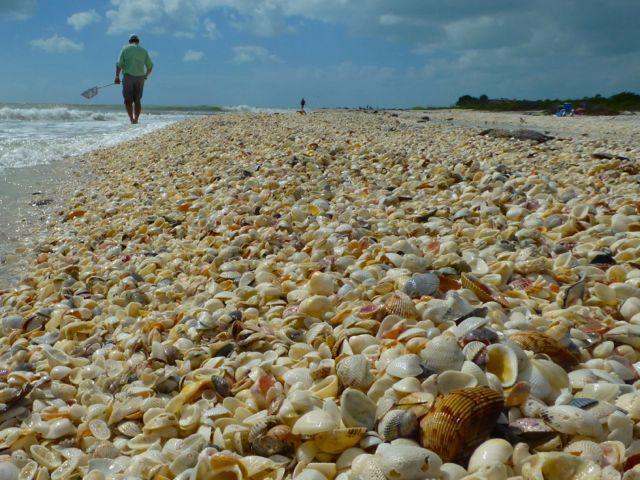 Hurricane Sandy Sprinkles Seashells On Sanibel Sea Shells Sanibel Captiva Beach