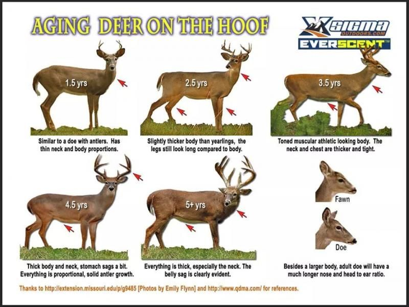 Aging Whitetail Deer Visually Deer Hunting Pinterest Deer
