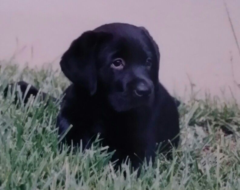 how much to feed a lab puppy at 8 weeks