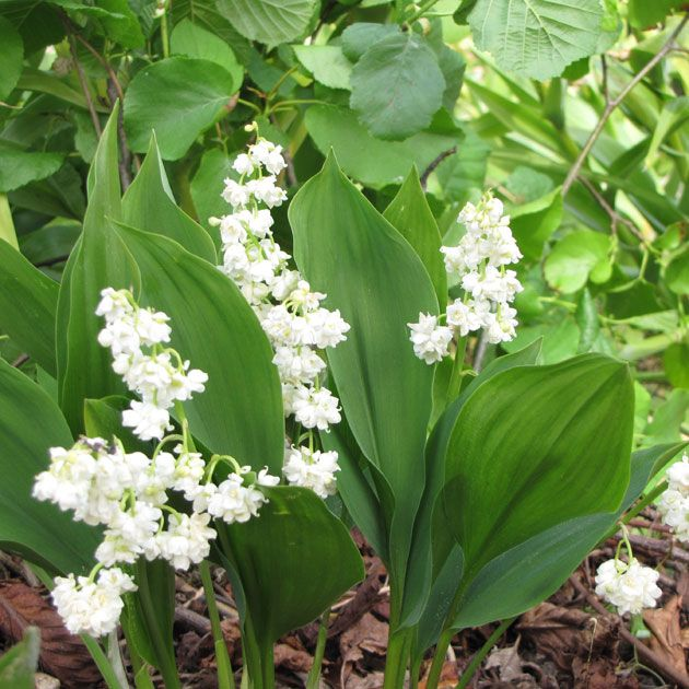 Convallaria Majalis Prolificans Botanus Care Inspire Grow Bulb Flowers Herbs Planting Flowers