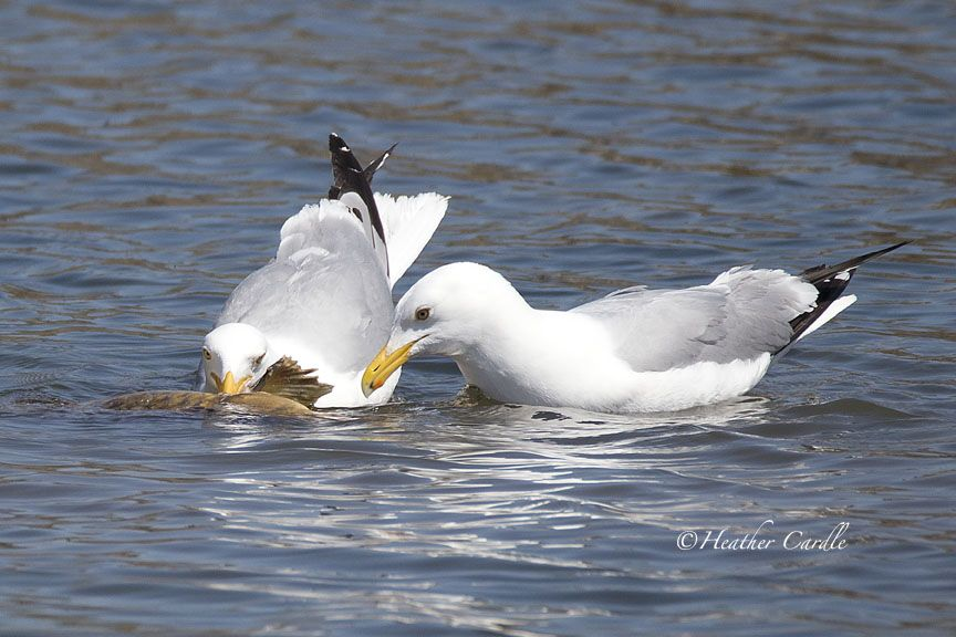 #chickpicotheday! Sharing is caring! #seagulls having an #Easter #fish dinner.