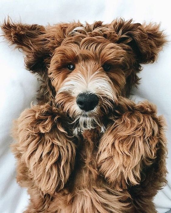 Fantastic Labradoodle Anime Adorable Dog - 89839092c545e2e9845d25cd3bb9ca30  2018_532674  .jpg