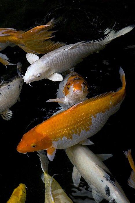 Yellow And Orange Koi Swimming By David Evans Koi Fish Koi Orange Koi