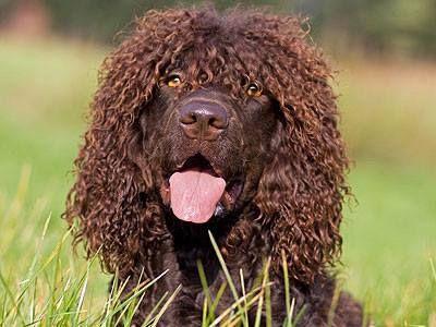Irish Water spaniel - just look at those eyes | Dog breeds ...