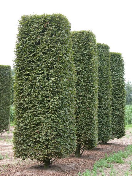Carpinus betulus Fastigiata | Great Gardens & Ideas ...