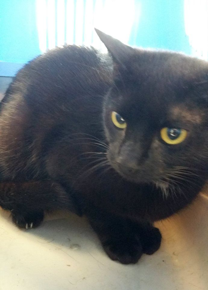 """ID 151777 - """"DOMINO"""" - Black - Adult - Female  These animals are at Clayton County Animal Control at 1396 Government Circle Jonesboro, GA 30236. If interested in rescue/foster/adoption please email us at FriendsCCAC@gmail.com. — with Lola Gauthier and Save Our Souls-crossposting."""