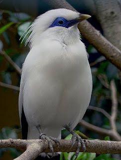Mainá do Bali - Pássaro mais raro do planeta - É endêmica da ilha de Bali na Indonésia. Na época de nidificação encontra-se em matos arbustivos, savanas arborizadas e florestas úmidas de folha caduca; fora da época de nidificação, é vista em orlas de florestas e savanas inundadas.