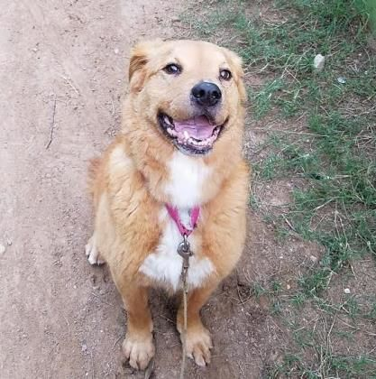 Adopt Sheldon A Lovely 8y 8m Retriever Golden Chow Chow