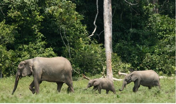 Elephants Are The Guardians Of Forests If They Disappear So Will