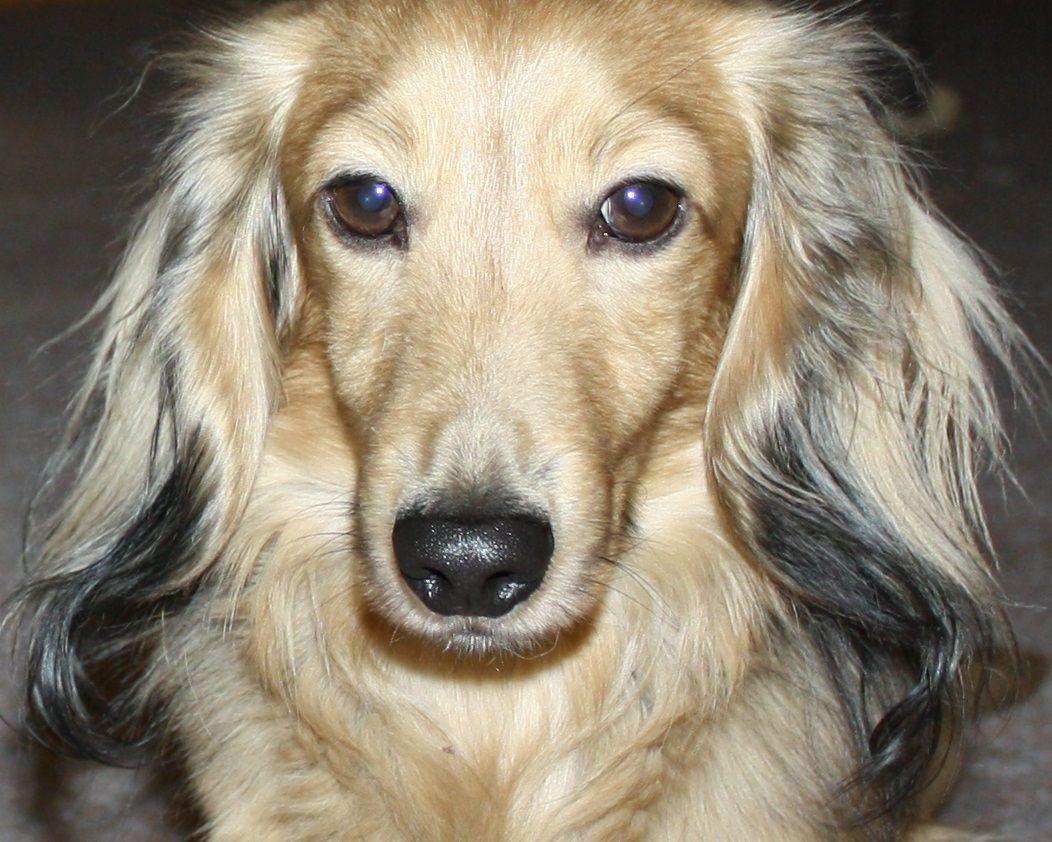 CA CH BAXTER. Mabel's dad Dachshund breeders, Dachshund