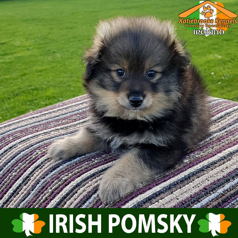 Katiebrooke Kennels Pomsky Specialists Ireland Price 1500 F2 Pomsky Puppy Kellie Brown Eyes X Female X Brown Black And White Pomsky Puppies Puppies Pomsky