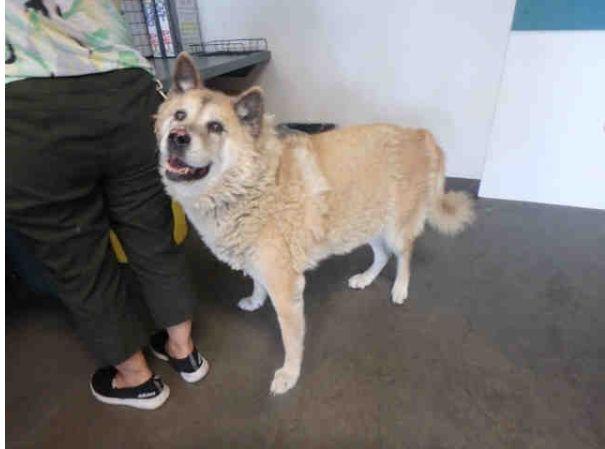Akita Dog For Adoption In Santa Clarita Ca Adn 687487 On