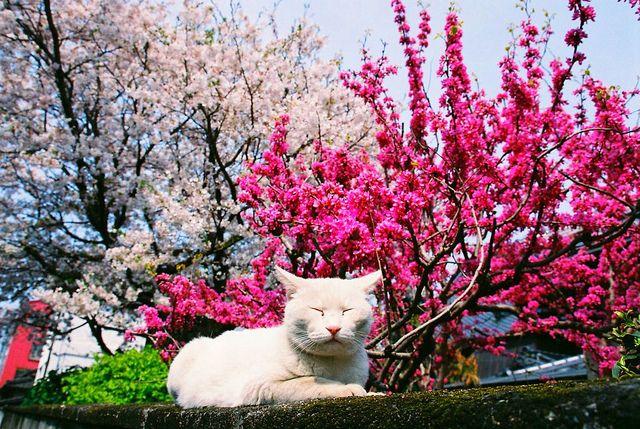 Japanese Cat Kumamoto Among The Cherry Blossoms Japan Cats Japanese Cat Butterfly Plants