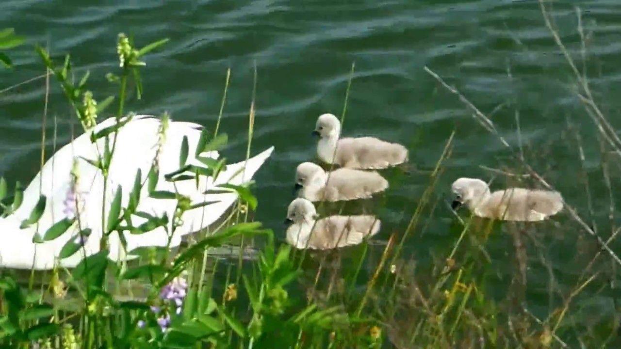Лебединая семья в орнитологическом парке принесла потомство, Сочи, Адлер