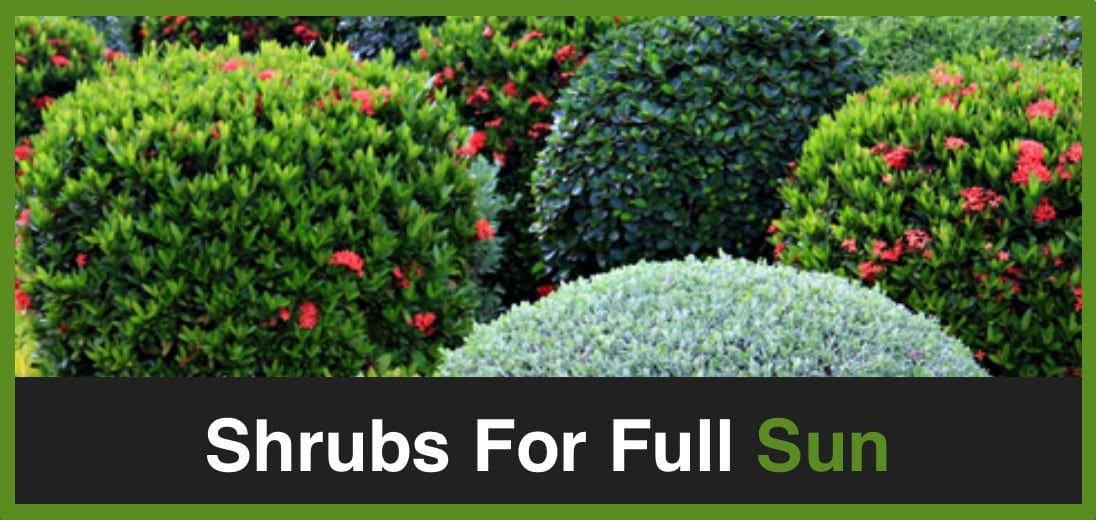 Best Shrubs For Full Sun In Front Of House Savy Gardener Full Sun Shrubs Full Sun Garden Garden Shrubs