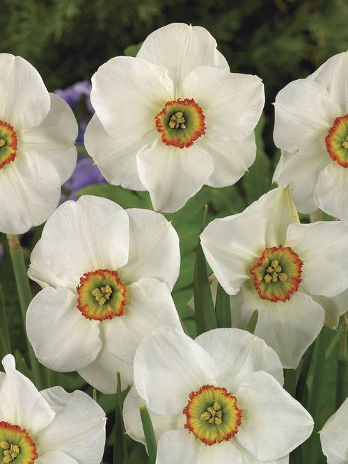 Original Poet's Daffodil, fragrant heirloom.