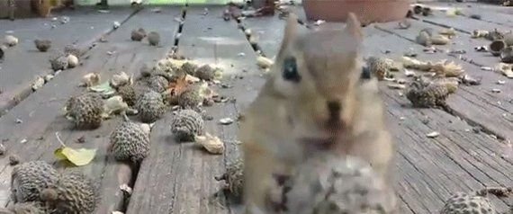 Chipmunk Eats All The Acorns, Has No Shame In His Game