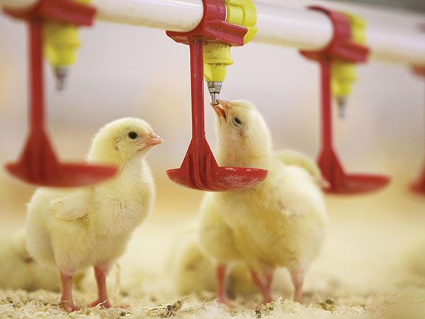 Pin On Poultry Automatic Drinking System