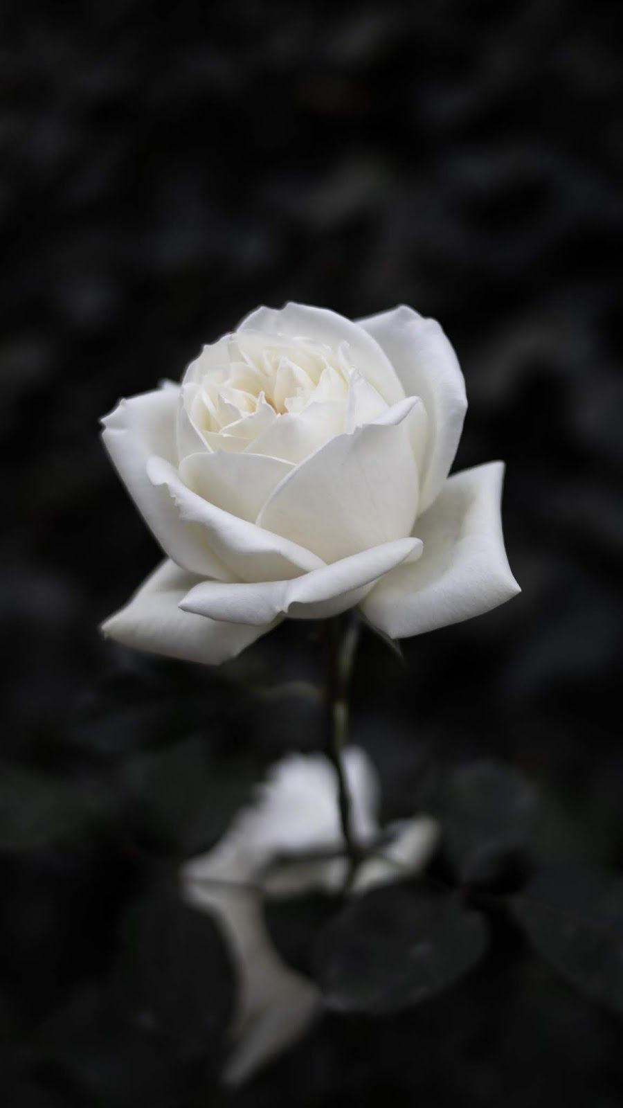 White Rose Wallpaper Iphone Android Background Followme Rose Flower Wallpaper Black And White Roses Dark Background Wallpaper