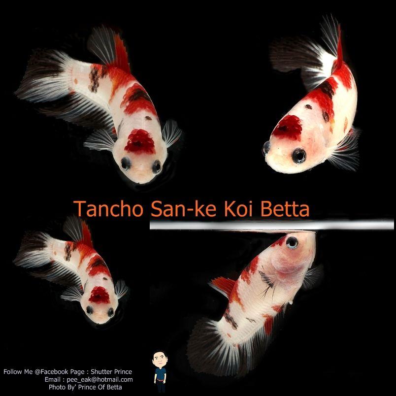 Item Fwbettashm1467163376 Tancho San Ke Koi Betta By Prince Of Betta Ends Tue Jun 28 2016 08 22 56 Pm Cdt