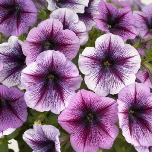 Potted Ray Petunia Plants For Sale In 2020 Petunias Petunia Plant Bonsai Flower