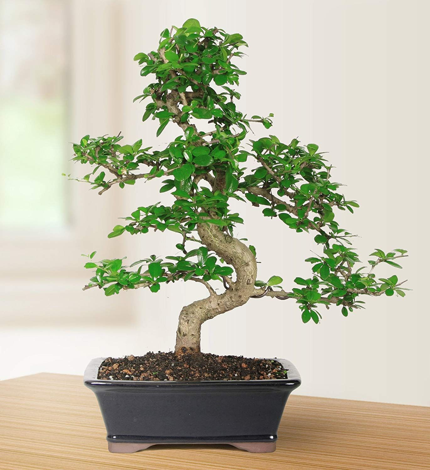 Fukien Tea Indoor Bonsai Tree 10 Years Old 10 To 14 Tall With Decorative Container Indoor Bonsai Tree Indoor Bonsai Bonsai Tree