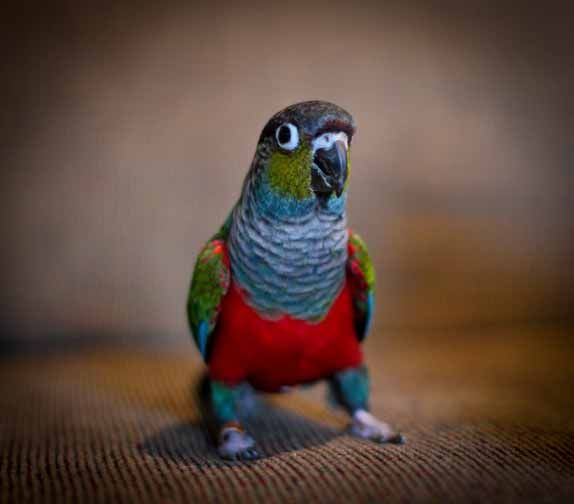 Pamperedpeeps Aviary- Crimson Bellied Conure for sale in AZ, Crimson