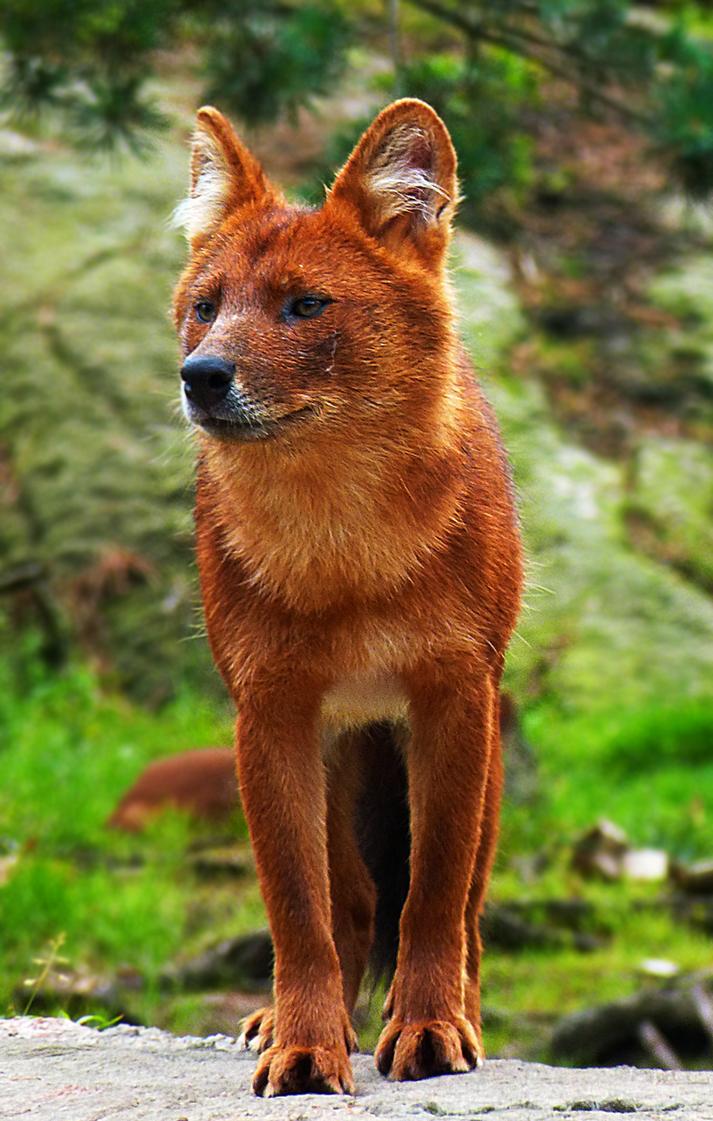 Dhole. De Aziatische wilde hond (Cuon alpinus), ook wel