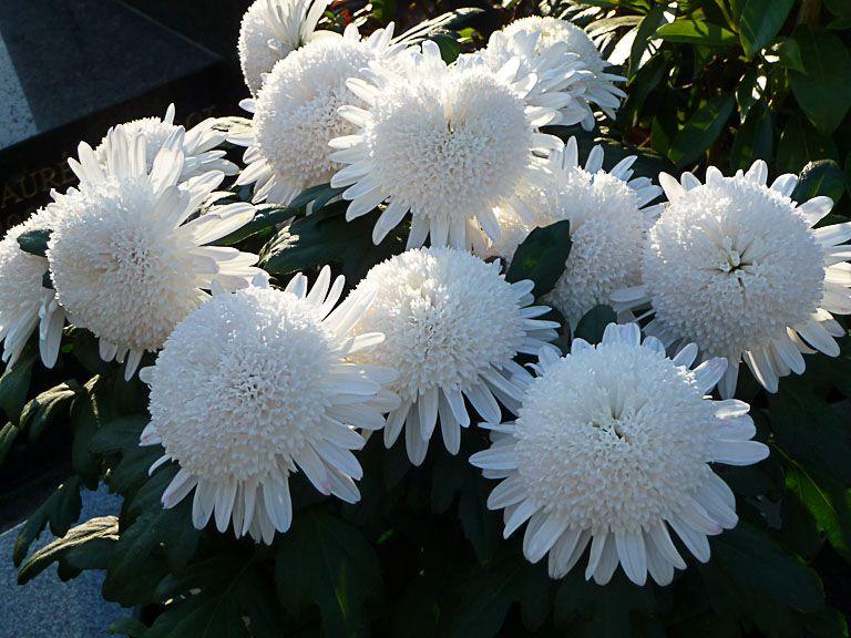 Chrysanth me alv ol blanc madame chrysanth me estampes asiatiques de fleurs pinterest - Arbuste japonais fleur jaune ...