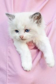 Kitten in shirt pocket