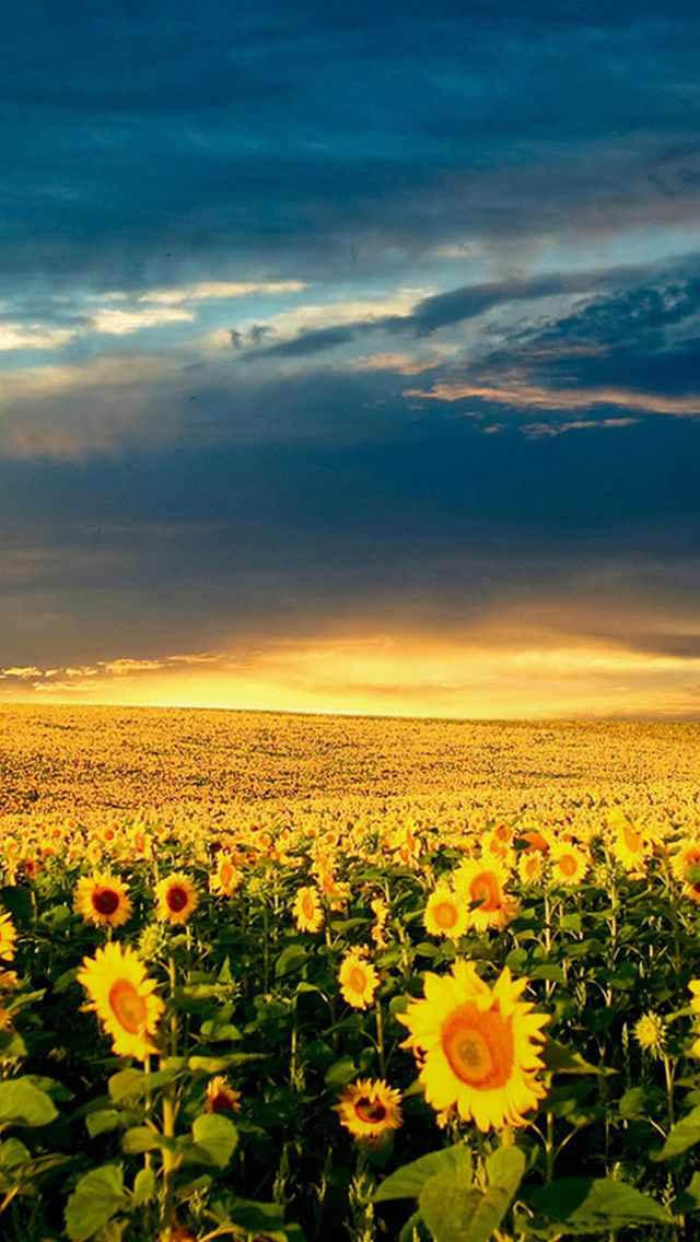 Nature Vast Sunflower Field Landscape IPhone 5s Wallpaper