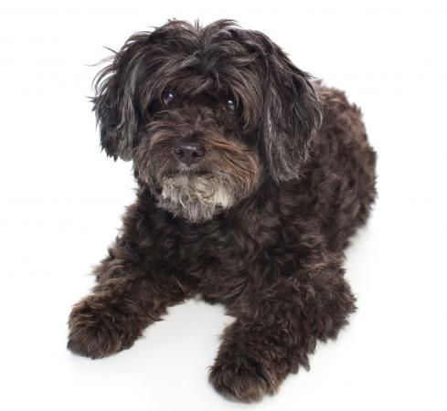 Schnoodle Rescue Lovetoknow Schnoodle Rescue Schnoodle Dog Schnoodle