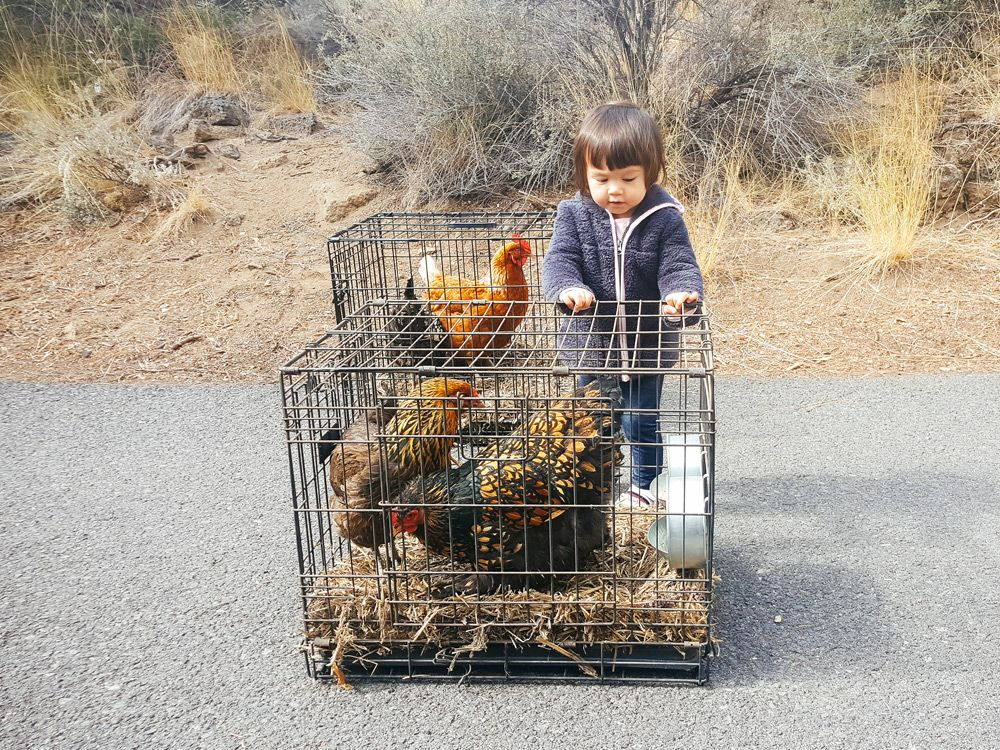 How to Move With a Flock of Backyard Chickens Chickens