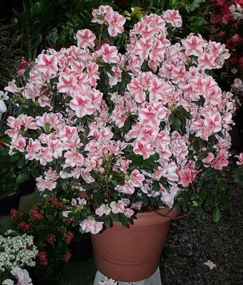 d24c982db Azaléia em vaso | flores | Sobre plantas, Jardim florido, Plantas