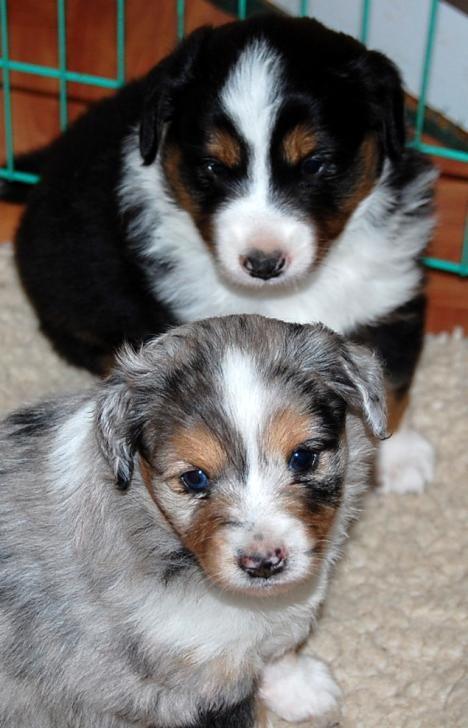 Mini Australian Shepherd Welpen Cute Cats And Dogs Cute Animals Puppies