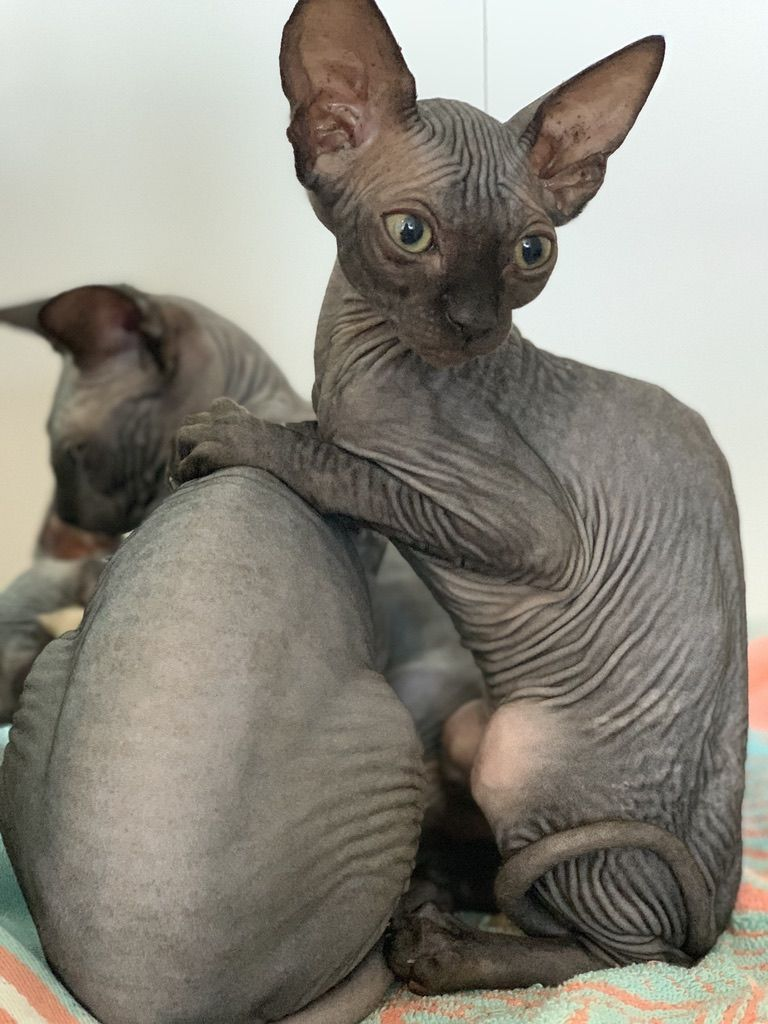 5 Reasons To Buy A Sphynx Cat Purringsphynx In 2020 Cat Breeder Sphynx Cat Cats