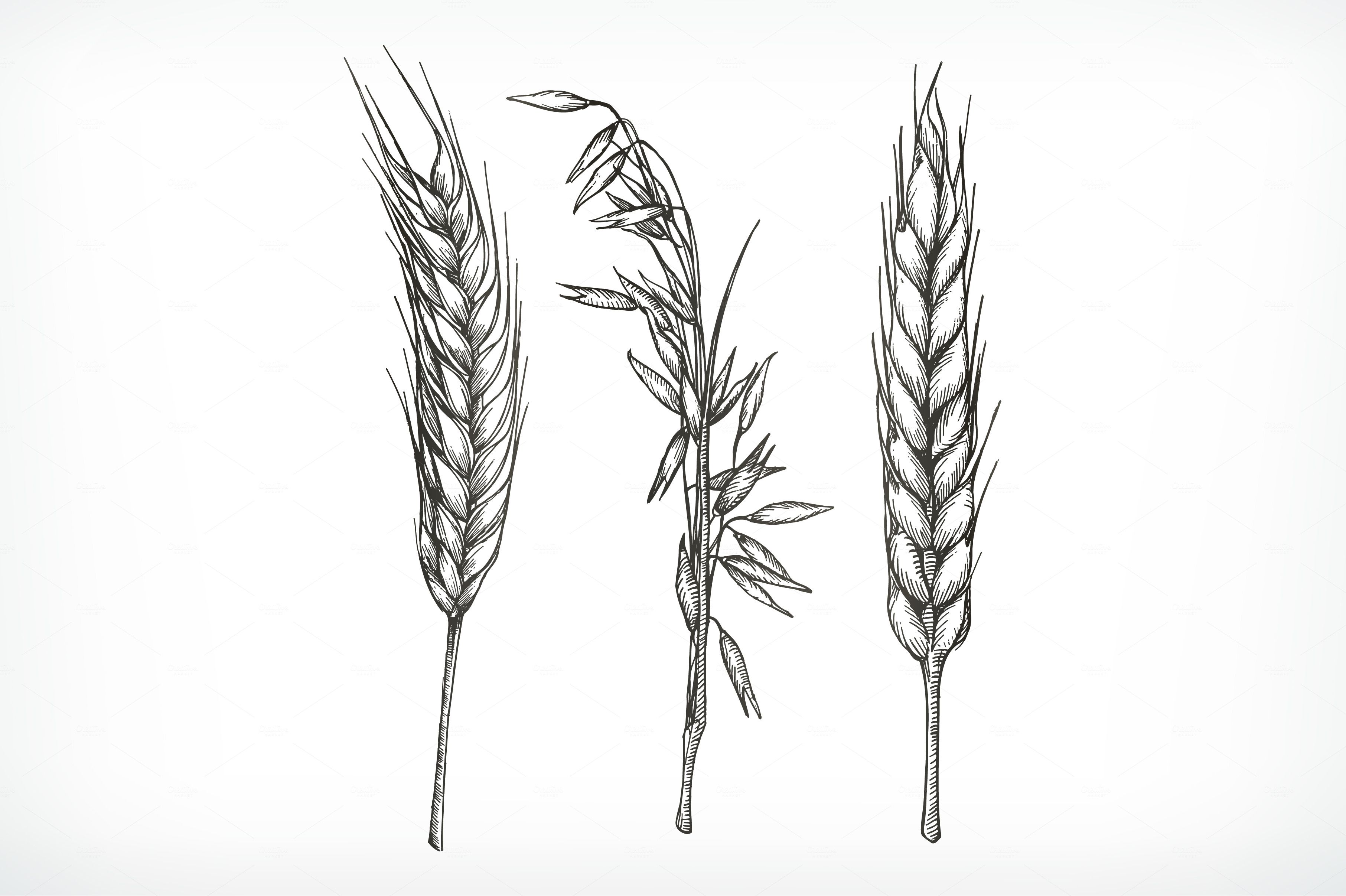 Crops Wheat And Oat Sketches By Allevinatis Studio On