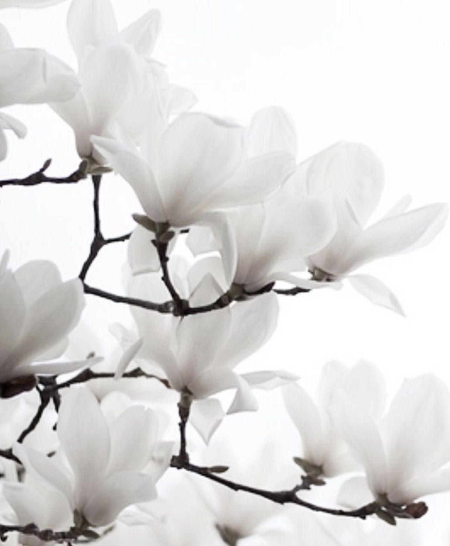 White Magnolia Yvi Pinterest Magnolien Blumen Und Schone Blumen
