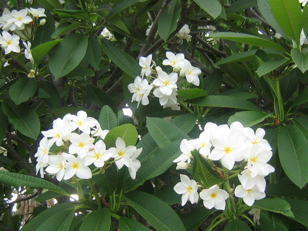 Plumeria Alba White Frangipani World Of Flowering Plants Planting Flowers Plumeria Garden Trees